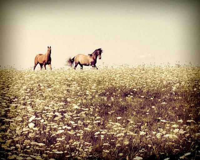 teresa alexander-arab horses wildflowers